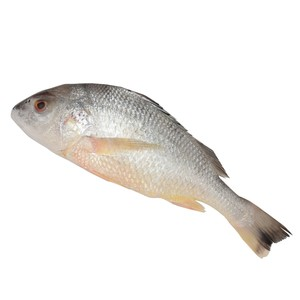 Fresh Nagroor Big 1.5kg Approx weight