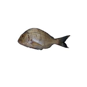 White  Koffer Fish Small 1kg Approx. Weight