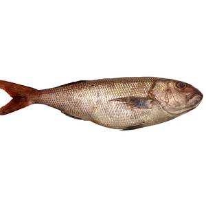 Fresh Andak Fish 1kg Approx. Weight