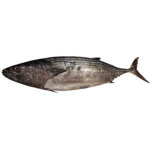 Fresh Tuna Sudha 1kg Approx. Weight