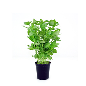Basil Leaves 1 Bunch