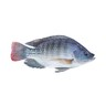 Fresh Tilapia  1kg Approx weight