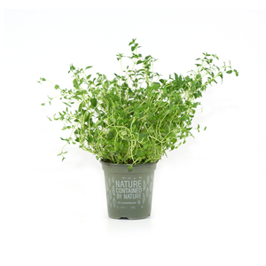 Holland Thyme Leaves 1 Bunch